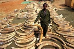 Ivory Stockpile